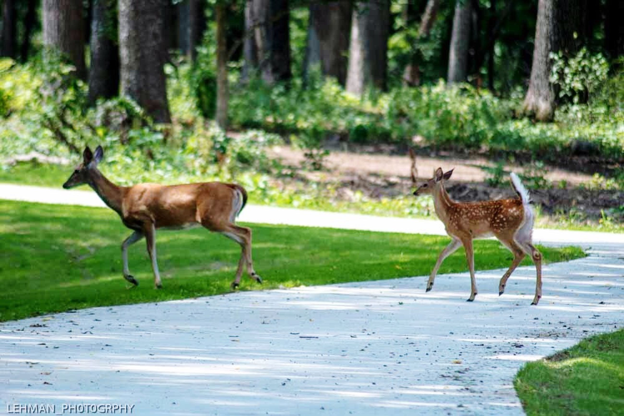 deer, animal themes, animals in the wild, nature, day, mammal, grass, outdoors, no people