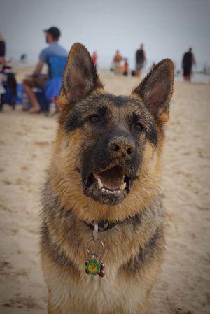 Lake Michigan Dog Beach Good Boy Sandy Nose German Shepherd I Love My Dog Chicago Samson