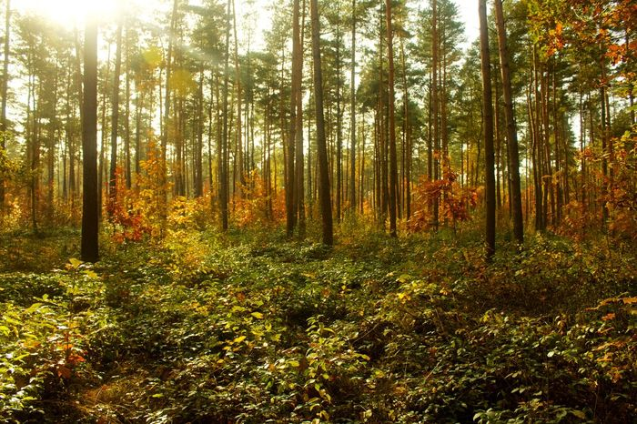 Autumn Beauty In Nature Belgium Day Forest Green Color Growth Lanaken Nature No People Outdoors Scenics Sunlight Tranquility Tree Tree Area