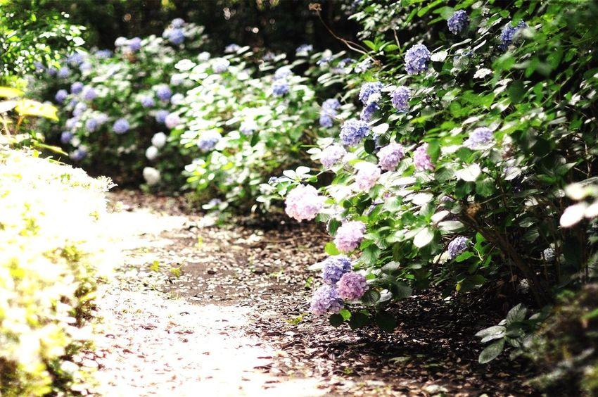 紫陽花 Chiba Kimitsu Japan
