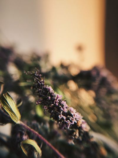 Calm Sun Moments Thyme Mint Sunlight Dry Flower  Thyme Flowers Purple Bouquet Flower Morning EyeEmNewHere Plant Close-up Focus On Foreground Growth Selective Focus No People Nature Beauty In Nature Day Fragility Vulnerability  Flower Leaf Green Color Plant Part Flowering Plant Tranquility EyeEmNewHere