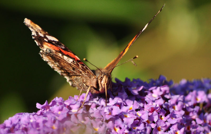 Close-Up Of Butterfly Pollinating On Lavender Flowers