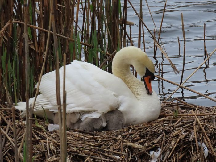 Everyone in for a nap? 😴 Mother mute swan and youngsters Birds of EyeEm closeup nest water white feathers beauty in nature outdoors Animal Themes Animal Wildlife Water Bird No People