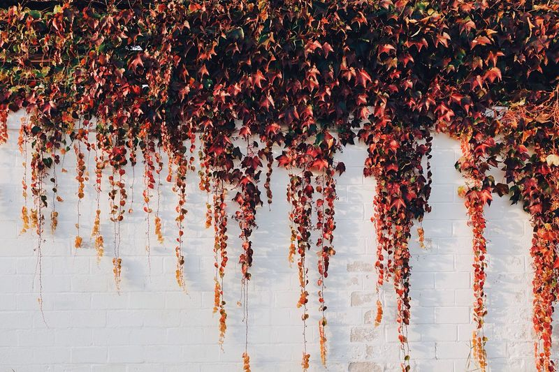 Ivy Growing On White Wall During Autumn