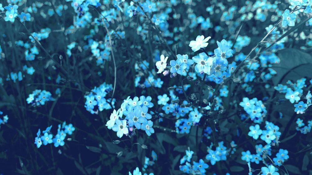 Forget Me Nots Flowers Colorsplash Blue Flowers Nature Field Artsy Artistic Photo Artistic
