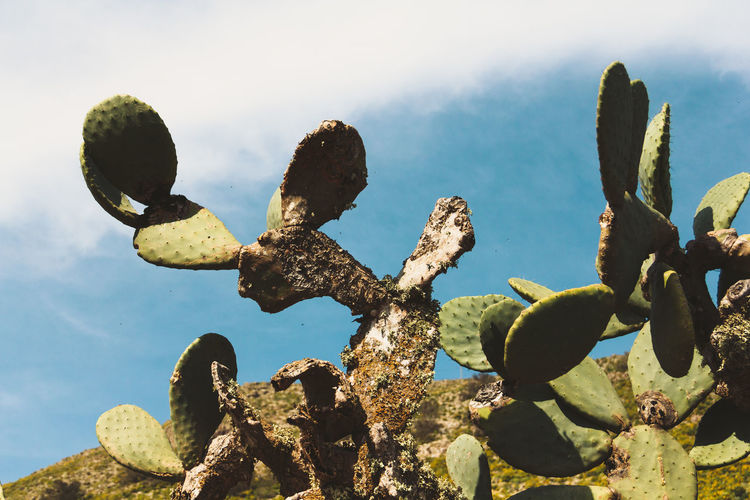 Low angle view of prickly pear cactus against sky
