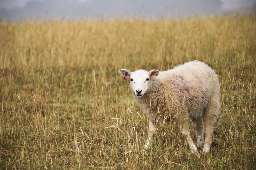 Sheep standing in long grass. Farm Farmland Grass Lamb Animal Animal Themes Day Environment Field Grass Grassy Lambs Land Landscape Livestock Mammal Nature No People One Animal Outdoors Plant Sheep Standing