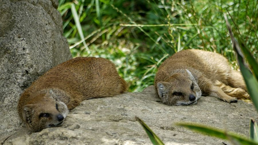 Foxes Resting On Rock At Cotswold Wildlife Park
