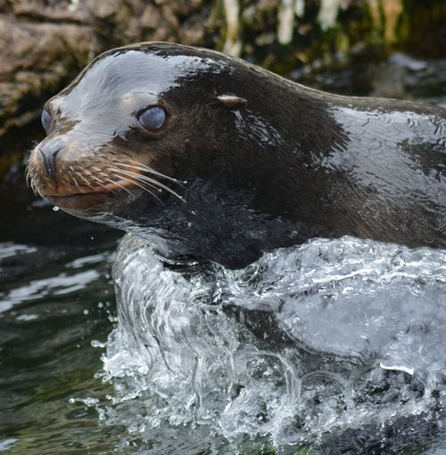 sea lion at the