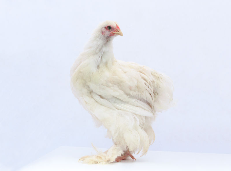 My pet Cochin Chickens Of Eyeem Chickens Are Pets Chickens One Animal Animal Themes Bird No People White WhiteCollection Petsofeyeem Pets Pets Corner Farm Life Hen Hens And Chickens Chicks White On White Animals Domestic Animals Cochin Cochin Chickens