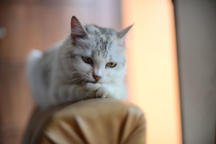Close-up portrait of cat relaxing at home