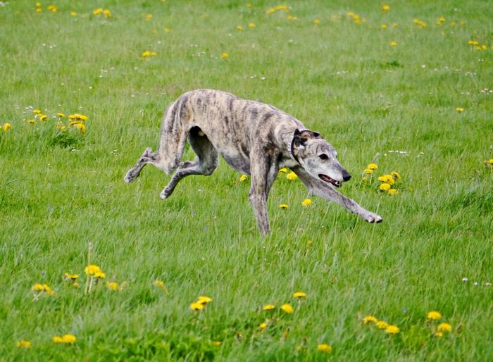 Side view of dog running on field