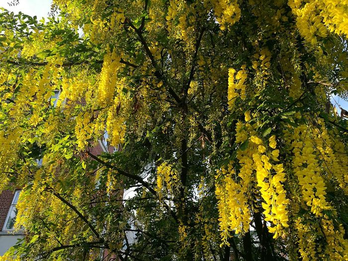 Tree Nature Growth Low Angle View Beauty In Nature Full Frame Outdoors Yellow Backgrounds Branch Close-up Freshness Beauty On Our Doorstep Smartphone Photography Beauty On The Street Street Tree Tree Outside Tree In The City Yellow Blossoms Blossoming Fresh & Bright Blossoming Tree Yellow Blossom Nature_collection Blossoms  Nature Photography
