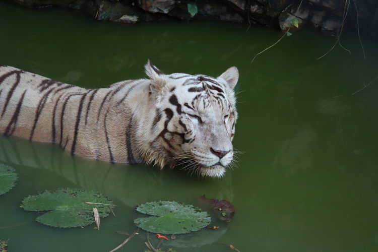 View of tiger drinking water