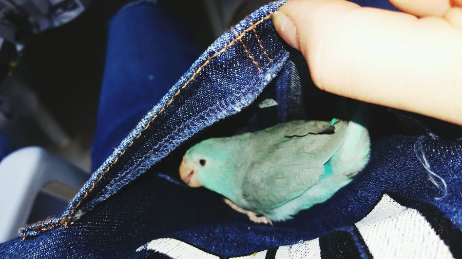 Close-up of parakeet in bib overalls pocket