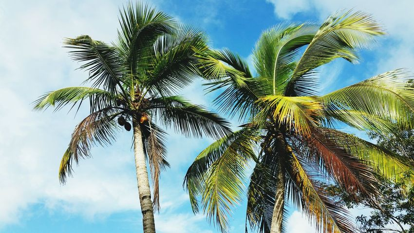 Such a Caribbean life Coconut Trees Double Trouble Summertime Tropical Plants Tropics Eyem Best Shots Nature_collection Naturephotography Eyem Nature Lovers  Eyem Collection