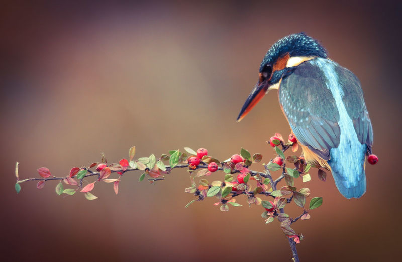 Kingfisher with