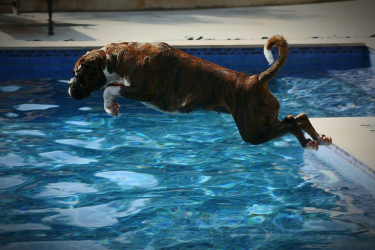 Boxer jumping over swimming pool