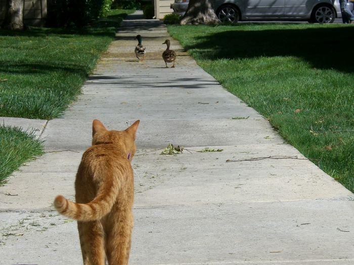 Birds Cat Ducks Outside Pet
