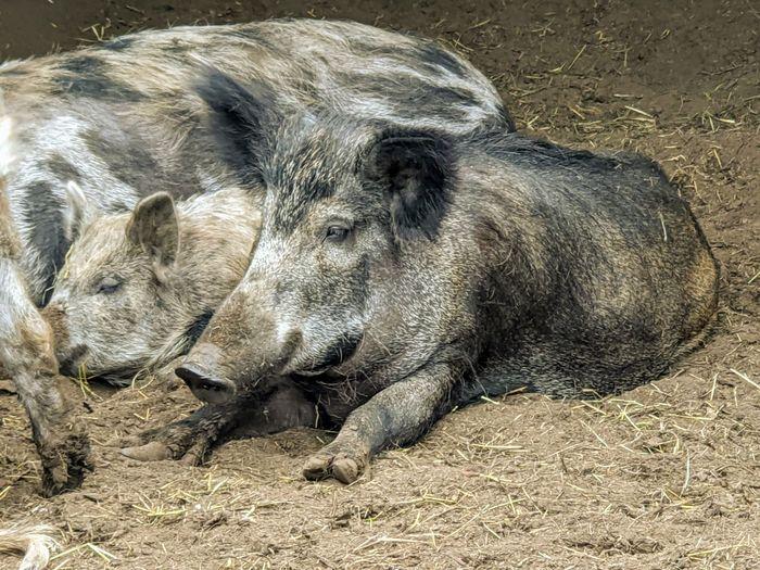 High angle view of animal lying on field