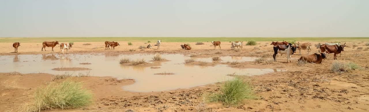 Panoramic image of cows by pond against sky