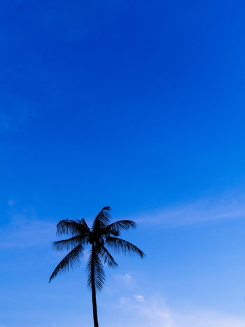 Portrait of single palm tree under dark blue sky Tropical Climate Palm Tree Blue Sky Tree Copy Space No People Tranquility Nature Leaf Tropical Tree Palm Leaf Beauty In Nature Silhouette Plant Outdoors Background Blue Sky Dark Blue Portrait