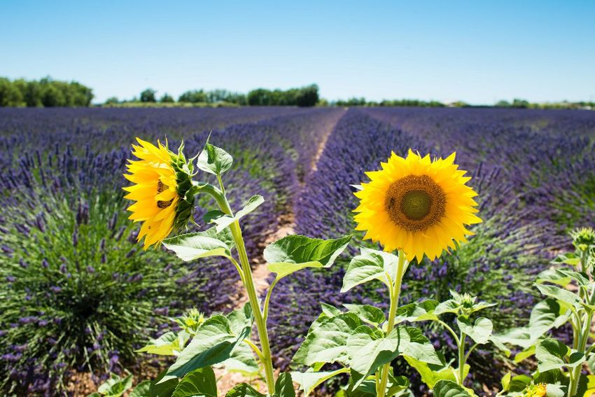 Lavenderflower Lavender Field Valensole Provence France Sunflower Sunflowers Landscape Landscape_photography Côte D'Azur