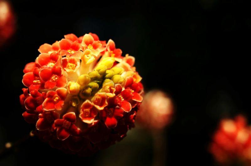 Flower Orange Oriental Paper Bush 花 オレンジ ミツマタ