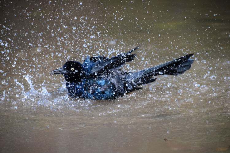Adventure Animal Themes Beauty In Nature Galaxy Great-tailed Grackle Motion Nature Night No People Outdoors Scuba Diving Sea Splashing Swimming Water Costa Rica Guanacaste, Costa Rica Guanacaste Costa Rica Guanacaste  Great Tailed Grackle