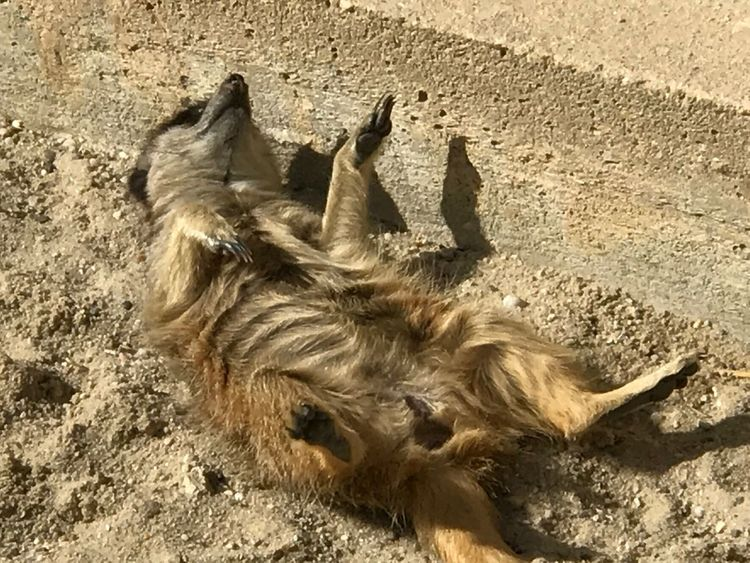 Not Getting Up Animal Themes Mammal Nature Meerkat Relaxing Don't Care Chilling Out