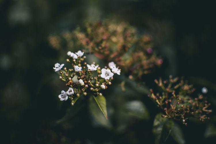 Inflorescence of unopened flowers of viburnum tinus