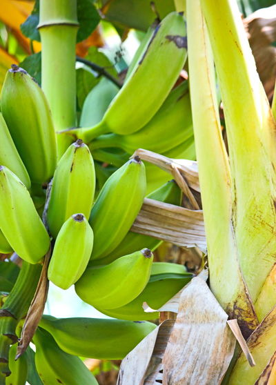Nature Close-up Beauty In Nature Plants 🌱 Green Color Green Plantain Fruit Photography