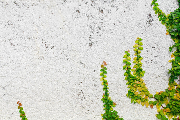Architecture Building Exterior Built Structure Close-up Concrete Day Freshness Green Color Growth Ivy Leaf Nature No People Outdoors Plant Plant Part Textured  Wall Wall - Building Feature White Color Yellow