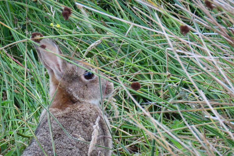 Animal Themes Animal One Animal Animal Wildlife Animals In The Wild Grass Field Focus On Foreground Outdoors Animal Head  Rabbit Rabbit - Animal Herbivorous Green Color Plant Mammal Land