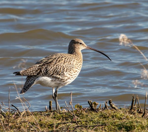 Curlew Curlew