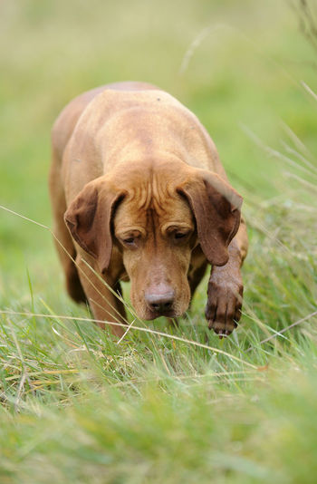 Concentration Dog Dogs In Action Gundogs HPR Hungarian Vizsla One Animal Outdoors Working Dogs