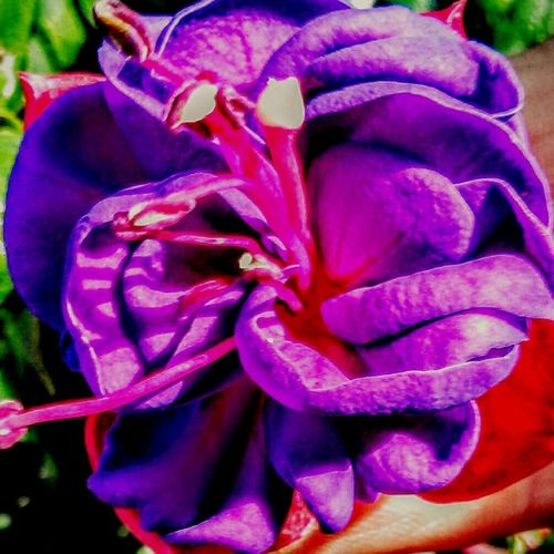 Flowers Garden Colors Of Nature Summer ☀ Purple And Pink Sweetheart♡♥ For You For Me  Something Beautiful Unbelievably Beautiful With Love In Love ♡  Ripples He Loves Me, He Loves Me Not He Loves Me.  Satin