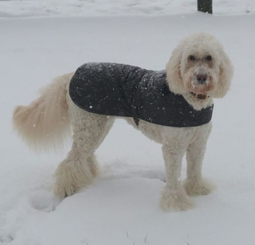 Snowy Dog❤ Pets Dogs Animals Goldendoodle Blizzard 2016Cold Winter ❄⛄ Jacketswagger Fluffy Dog Boots On  Getty+EyeEm Collection Elegant Dogpose Goldendoodlesofinstagram Beauty Redefined Animalphotography Capture The Moment Vouge Dogslife I Love My Dog❤ Dogsofeyeem Animal