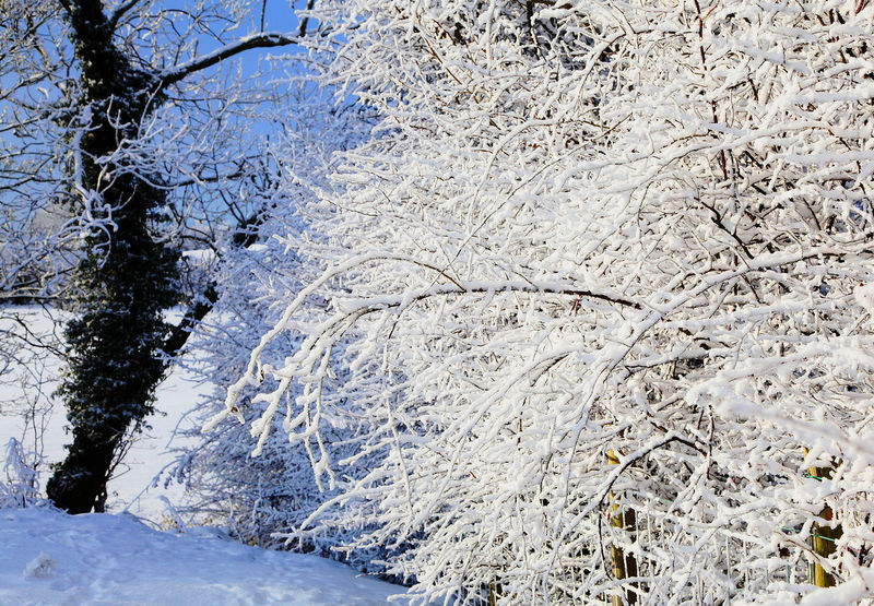 Branches With Snow Christmas Hawthorn Rural Scene Snow Sunshine Track Winter Winter Hedge
