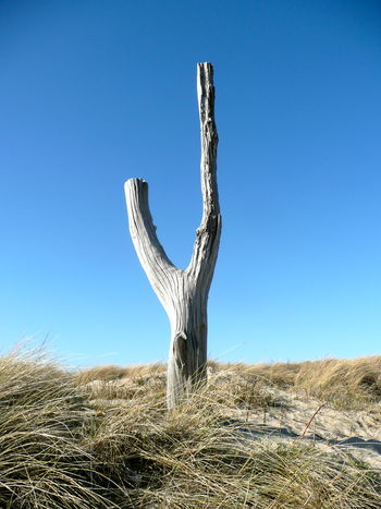 Beach Beauty In Nature Blue Clear Sky Dry Grass Island Sylt Germany Landscape Nature Outdoors Scenics Sky Sylt Tranquil Scene Tranquility Tree Stump Weathered Tree Stump Wind Blown Trees