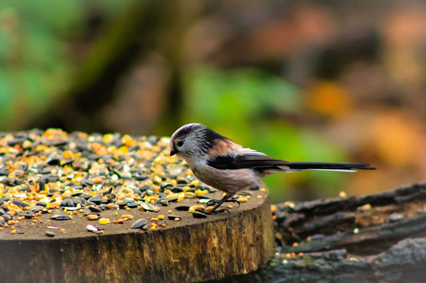 Animal Themes Animal Wildlife Animals In The Wild Bird Close-up Day Focus On Foreground Long Tailed British Bird Nature No People One Animal Outdoors Perching Songbird