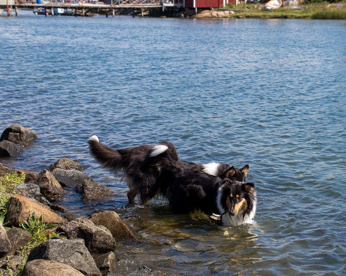 Molly and Kendza are sisters, They are so sweet to each other, and I LOVE them so much. Here we was walking by the sea, just outside Gothenburg. Collie Collies Dog Doglover Dogs Free Spirit Havingfun Lassie Love Love Is Not Just A Verb, It's You Looking In The Mirror Love Lovely Sun Sun-On-A-Stick