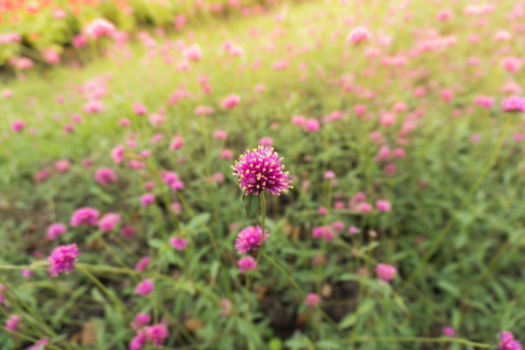 Flowering Plant Flower Plant Fragility Freshness Vulnerability  Beauty In Nature Growth Pink Color Flower Head Inflorescence Petal Close-up No People Field Land Focus On Foreground Selective Focus Nature Day Outdoors Pollen Clover