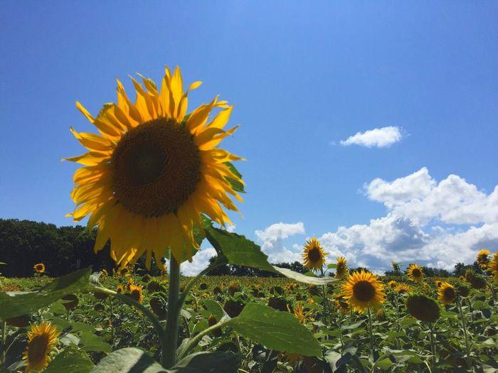 Sunflowers🌻 Yellow Beauty In Nature Flower Nature No People Hokkaido,Japan