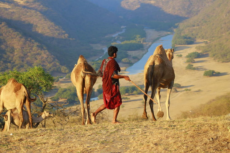 Man herding camels walking on field against mountains
