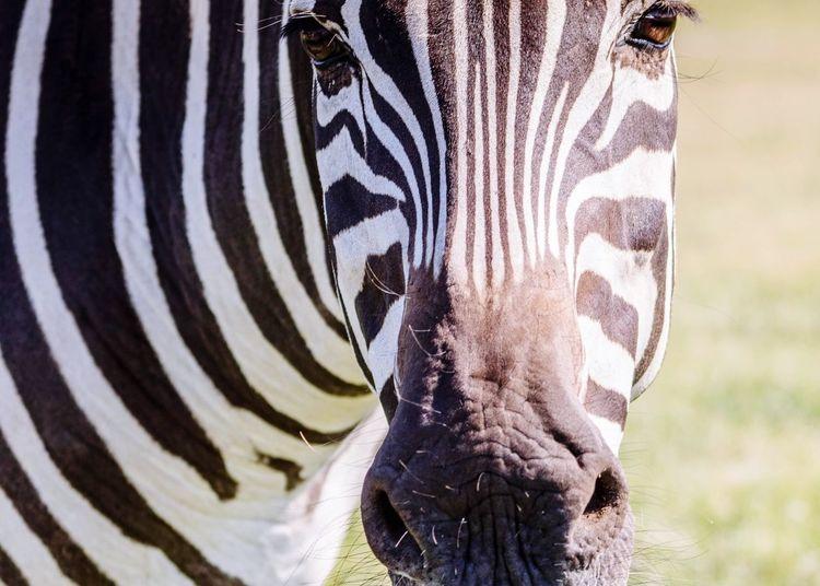Zebra Mammal