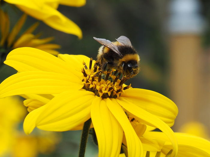Close-up of bee on yellow flower
