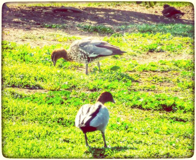Birds Australian Wildlife