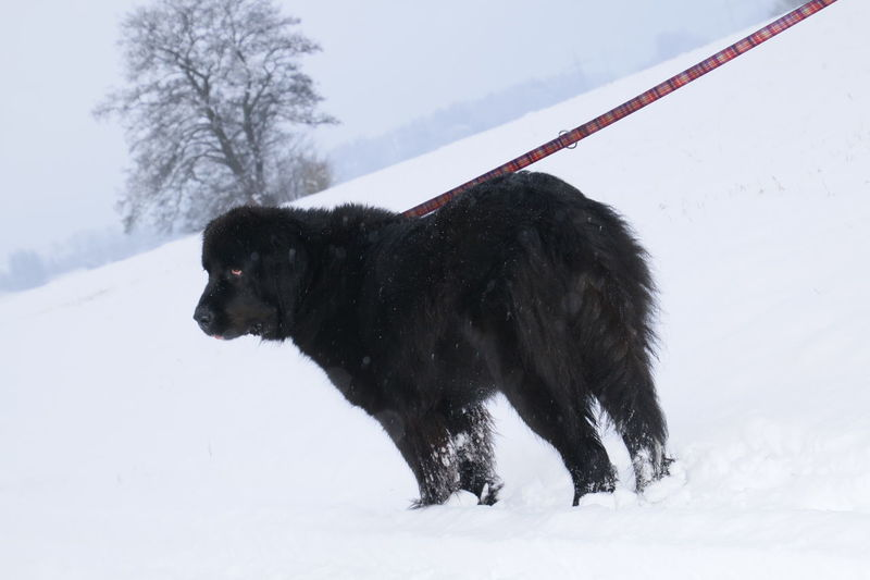 Cold Temperature Winter Snow Frozen No People American Bison Silhouette Snowing Animal Wildlife Snowflake Nature Mammal Moose Day Outdoors Extreme Weather Scenics Dog Animal Black & White Black Labrador