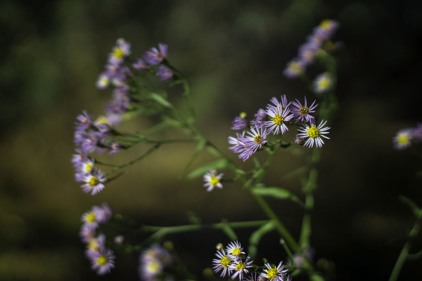 Flowering Plant Flower Freshness Plant Vulnerability  Fragility Beauty In Nature Growth Petal Flower Head Inflorescence Close-up Purple Nature Selective Focus No People Focus On Foreground Day Pollen Plant Stem Outdoors